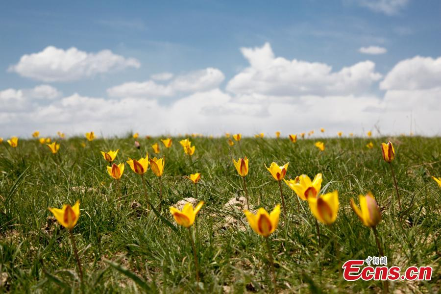 Wild tulips in Xinjiang attract tourists